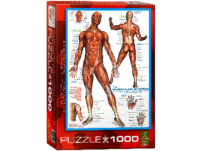 THE MUSCULAR SYTEM 1000pc