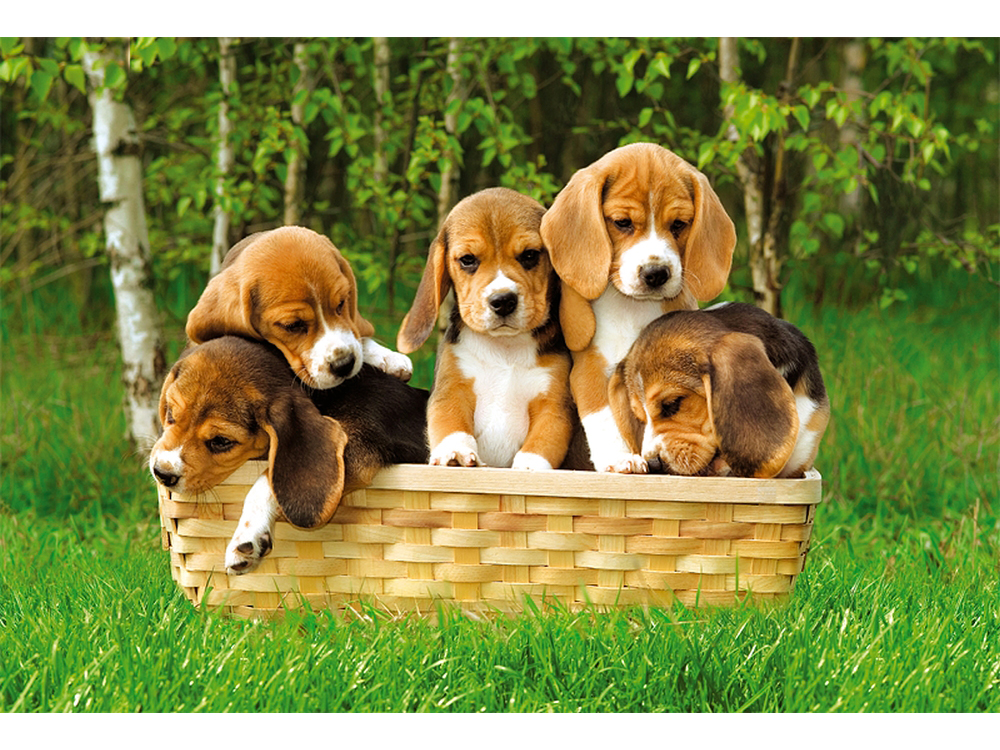 BEAGLE PUPPIES 60pc