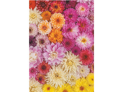 DAHLIAS 1000pc